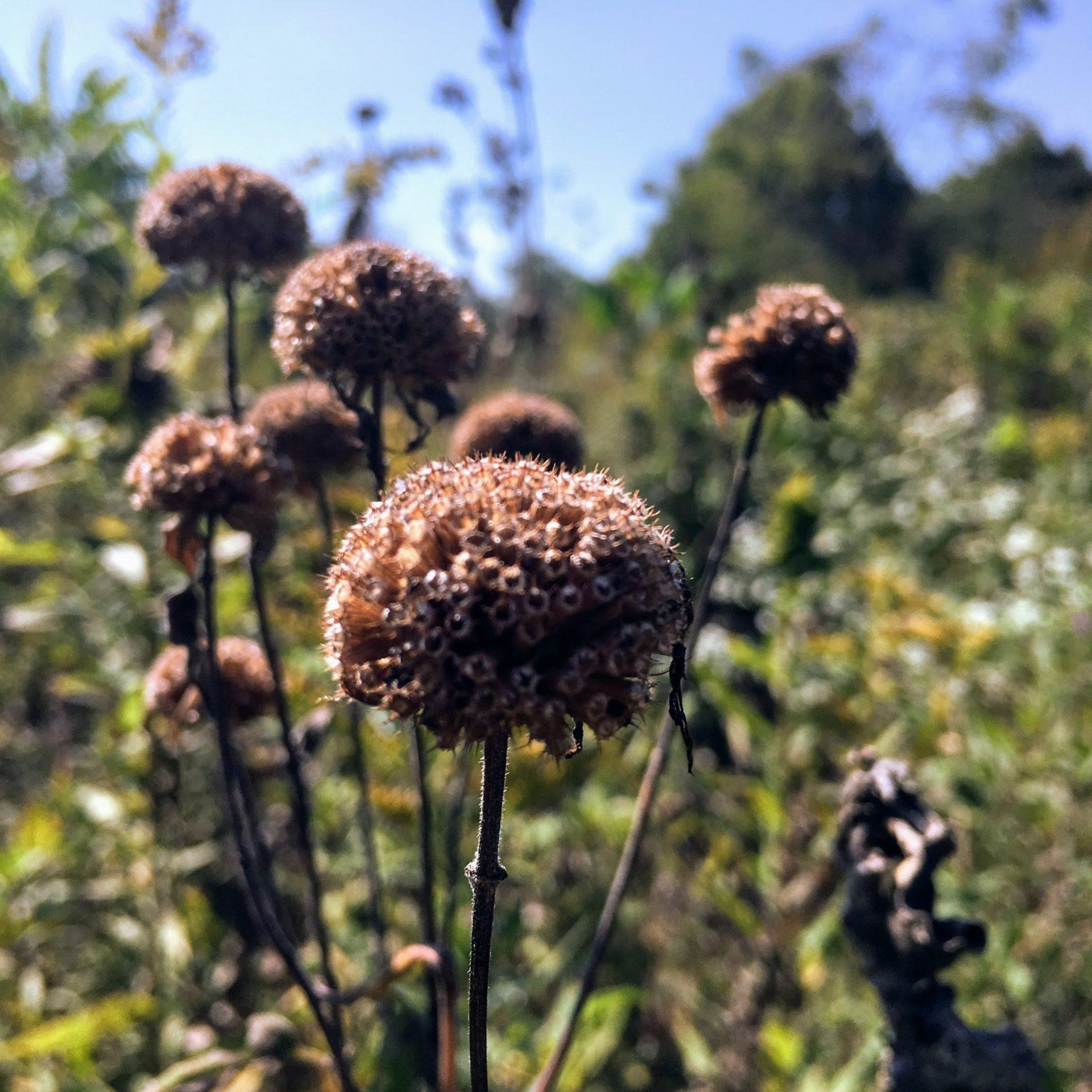 bee balm seed heads